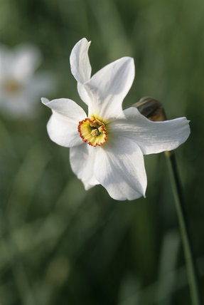 An Old Pheasant's Eye narcissus, Narcissus poeticus var