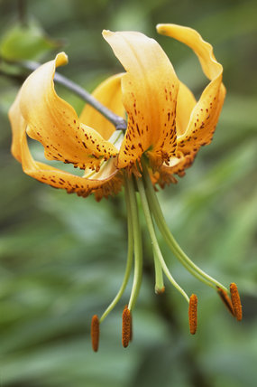 An orange Tiger Lily, lilium lancifolium, associates well with the hot colour schemes in the herbaceous borders of the lily garden at Barrington Court