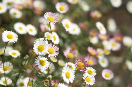 Close-up of a cluster of Erigeron karvinskianus (syn. E. mucronatus)
