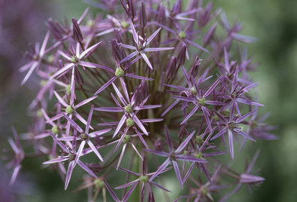 Close-up of Allium christophii (syn. A. albopilosum)