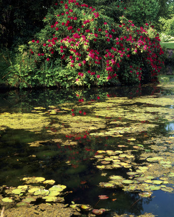 Lily pads in the moat & Rhododendron 'Doncaster' at Scotney castle garden, May