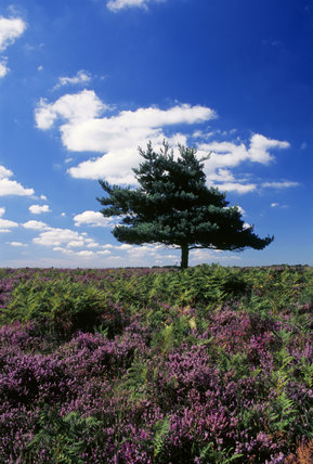 Hale Pulieu in the New Forest, east side, Hampshire, with Scots Pine and flowering heather