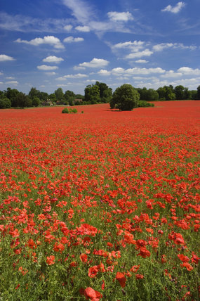 A rolling expanse of poppy fields on the Hatchlands Park estate at Guildford, Surrey