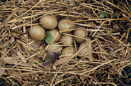 Pheasant's nest with clutch of eggs at Wicken Fen, Cambridgeshire