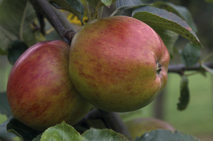 A couple of Herefordshire Costard red apples hang in the orchard at Berrington Hall