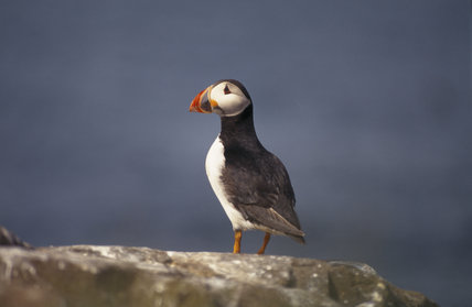 A lone puffin on a rock in the Farne Islands