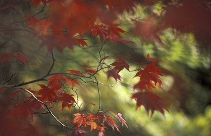 Close up of Japanese maple leaves (Acer) in autumn, England, UK
