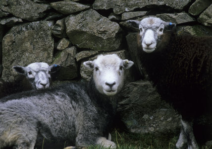 Herdwick sheep at Yew Tree Farm, Coniston, Lake District, Cumbria