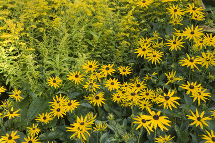 Rudbeckia and Solidago