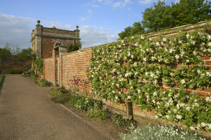 An espaliered apple tree, Fenoullet rouge, trained on the wall of the Walled Garden at Westbury Court Garden, Gloucestershire, UK