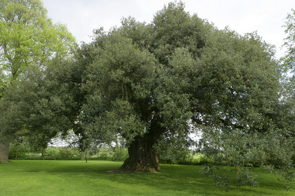 The 400 year old Holm or Everegreen Oak tree (Quercus ilex) at Westbury Court Garden, Gloucestershire, UK