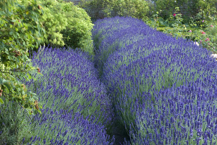 Beds of lavender in the walled garden at Polesden Lacey, Surrey