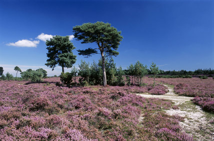 Mass of flowering heather in the New Forest at Rockford Common