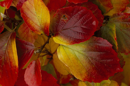 Autumn leaf colour on Fothergilla monticola at Sheffield Park garden