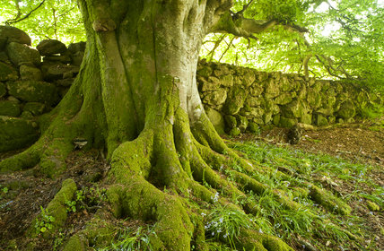 Mossy Tree Roots And A Stone Wall In Spring At Whiddon