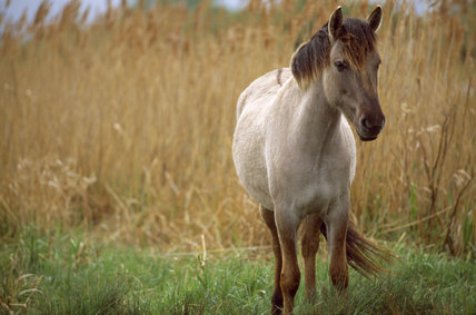 Wicken Fen - A Konik pony (Tarpan wild horse ) (Equus caballus) amongst the reeds and grasses
