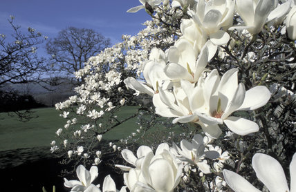 Magnolia flowers {Magnolia sp} Bodnant Gdns, Conwy, Wales, UK