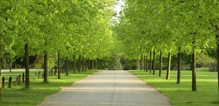 Avenue Of Lime Trees At Polesden Lacey Surrey Uk