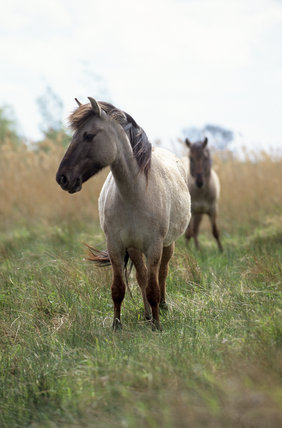 Konik pony at Wicken Fen, Cambridgeshire