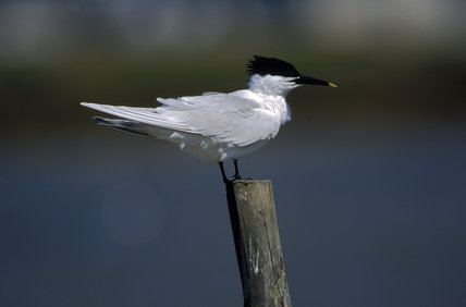 Sandwich Tern (Thalasseus sandvicensis) on Brownsea Island, Dorset, UK
