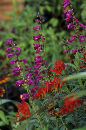 Penstemon and Crocosmia