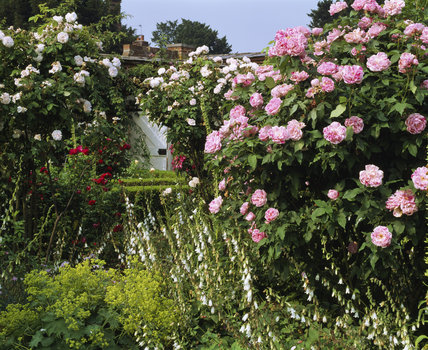 White and pink roses, and white foxgloves at Mottisfont Abbey