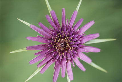 Detail of Tragopogon Porrifolius also known as 'Salsify' in The Courts Garden