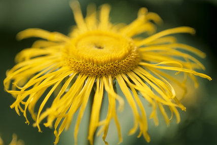 Detail of Inula Hookeri in The Courts Garden