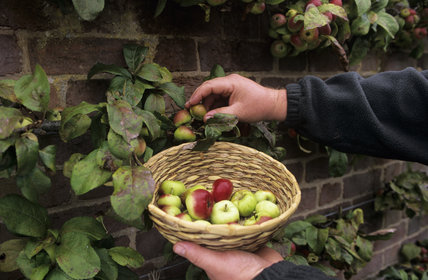 Close-up of a pair of hands picking tiny apples and placing them into a wicker bowl, at the Westbury Court 1st Apple Day