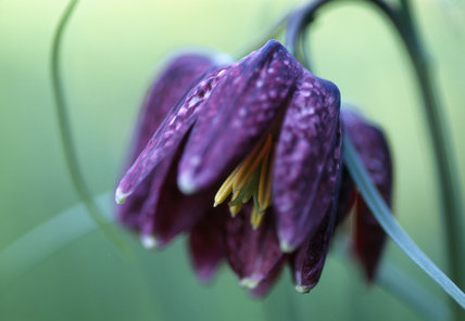 Close-up detail of the Snakes Head Frittillary (Fritillaria Meleagris)