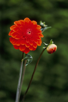 Close-up of the flower head of the red Dahlia growing in Nymans Garden, Sussex