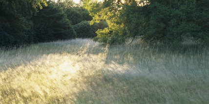 Wind blown grasses in the late summer at Anglesey Abbey