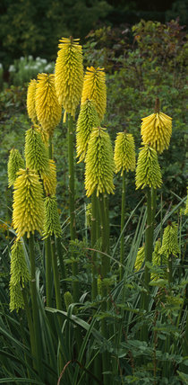 Kniphofia in the Walled Garden at Rowallane