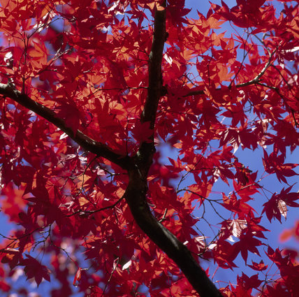 Bright red leaves of the Acer Palmatum Atropurpureum variety, shot against the bright blue sky behind