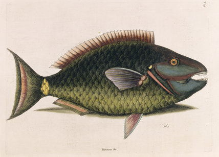 Parrot Fish (Plate 29), Mark Catesby, The Natural History of Carolina (London, 1754) The Library, Blickling Hall