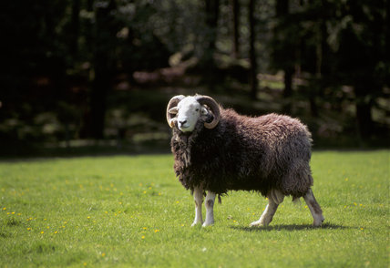A Herdwick ram at High Yewdale Farm, Monk Coniston, standing on sunlit grass and looking at the camera
