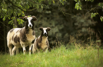 Two Jacob's sheep on the Brockhampton Estate