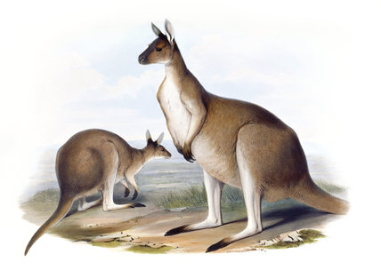 Macropus fuliginosus, Western grey kangaroo, illustration from 'Mammals of Australia