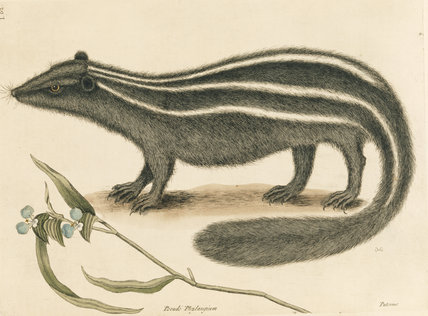 Polecat (plate 62), Mark Catesby, The Natural History of Carolina (London 1754) The Library, Blickling Hall