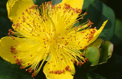 Detail of Hypericum showing petals and stamens, in the Hypericum Walk