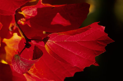Close-up of the bright autumnal red leaves of Fothergilla major or monticola, growing in Sheffield Park Garden, West Sussex
