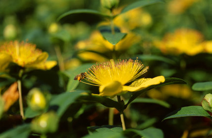 Group of Hypericum in the Hypericum Walk, showing an insect feeding
