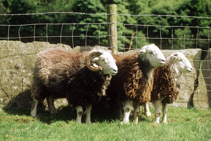 A group Herdwick sheep at High Yewdale Farm, Monk Coniston, standing by a wall
