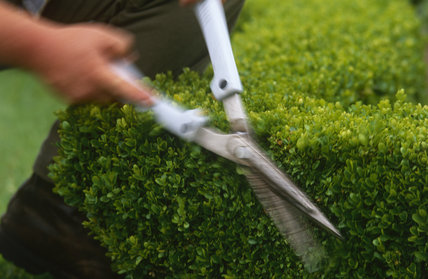 Detail showing blades of shears clipping topiary at Westbury Court Garden in the Summer