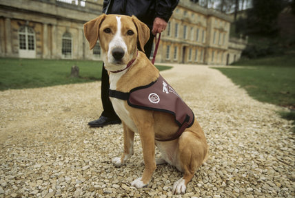 Access for all - Close up of Hearing Dog For Deaf People outside Dyrham Park