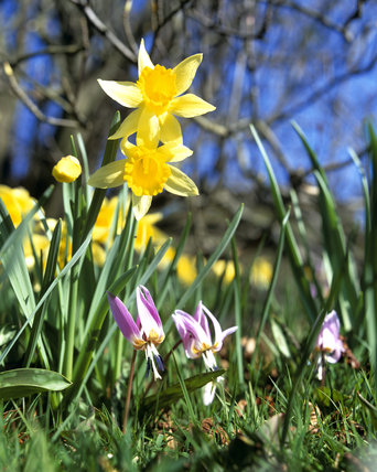 A ground view close up of Daffodils growing in Emmetts Garden giving a real sense that it is Springtime