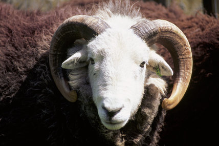 Close up of the head of a Herdwick ram at High Yewdale Farm, Monk Coniston