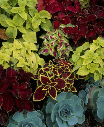 Coleus and Echeveria in a circular flower bed at Peckover House
