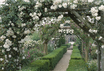 Rose arches in Mottisfont Abbey Garden covered with the white Rose Adelaide d'Orleans and the Rose Veilchenblau, which is also known as Blue Rambler and has white streaked purple flowers