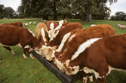 Several of the Pedigree Hereford cattle feeding from a trough at Warren Farm on The Brockhampton Estate